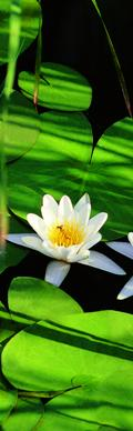 Water lilies from a Danube Delta Vacation